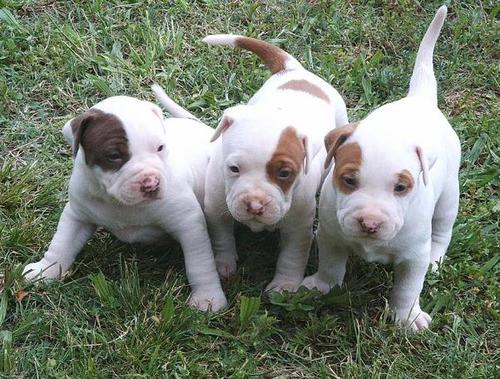 presentes touro terrier cachorros,