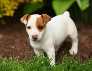Jack Russell Terrier**