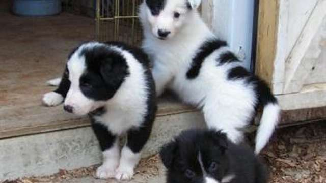 Regalo excepcional camada border collie