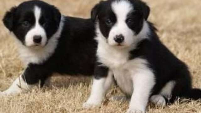 9 lindos filhotes de border collie