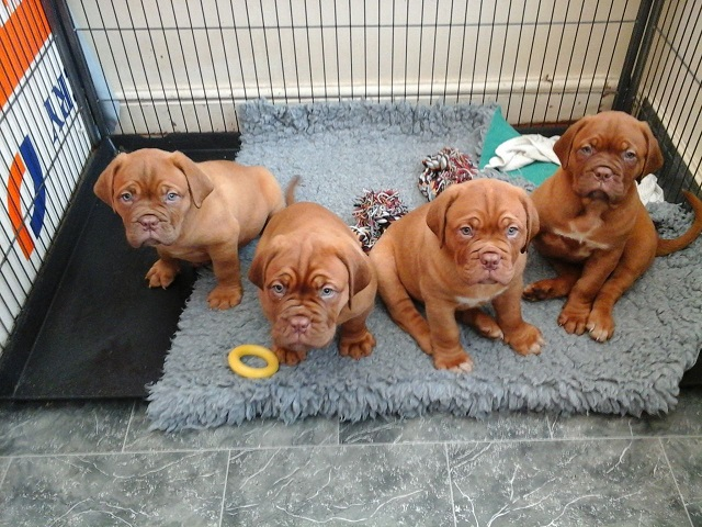 comprar dogue de bordeaux  dogue de bordeaux para venda portugal  compra