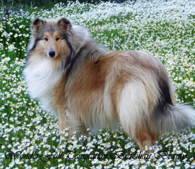 Rough Collie Lassie Fêmea