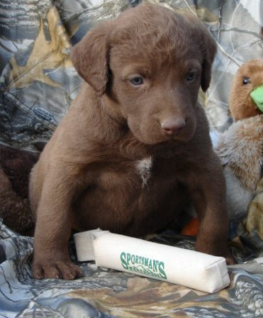Filhotes Chesapeake Bay Retriever Venda