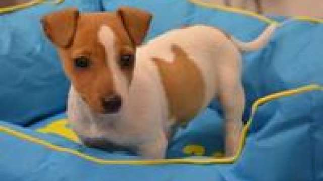 Os filhotes de cachorro jack russell cheeky